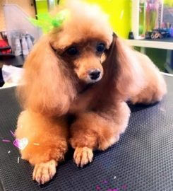 The Funky Poodle Too